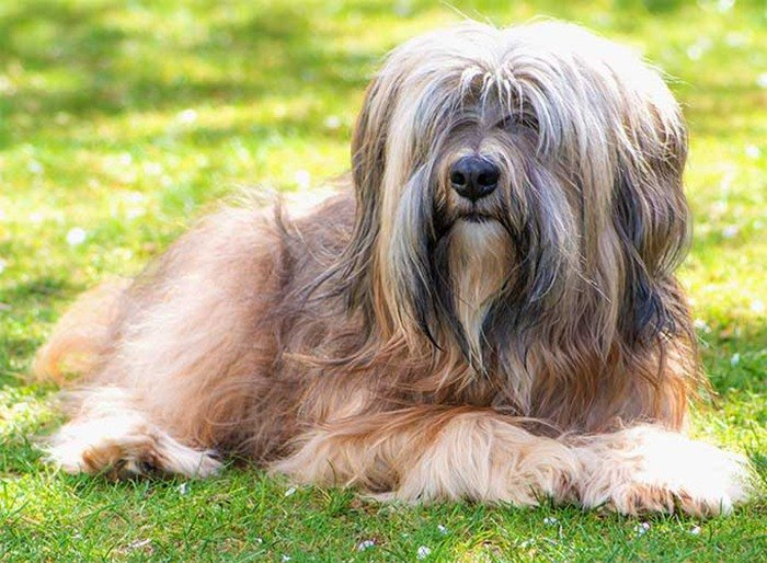 https://www.pitomec.ru/upload/admin/images/kinds/dogs/Tibetan-Terrier-01.jpg