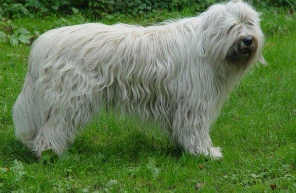 Южнорусская овчарка фото 9