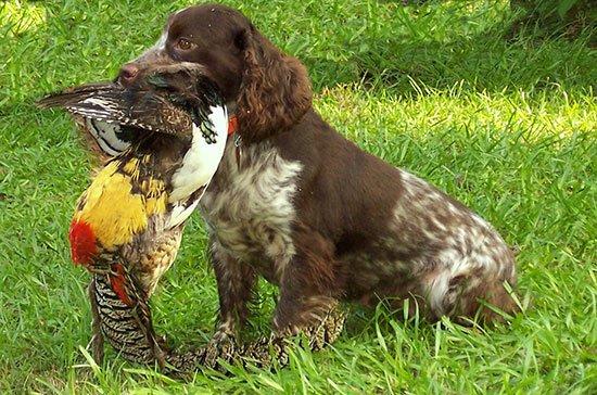 английский кокер спаниель собака фото