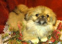 Пекинесы - маленькие пушистые собачки, выведенные в древнем Китае более...