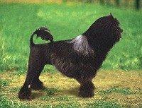 Ліон-бішон - енциклопедія тварин