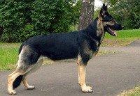 бернская овчарка: среднеазиатская овчарка фото, черные щенки овчарки.