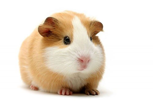 http://www.pitomec.ru/upload/admin/images/kinds/gryzun/Cavia-porcellus.jpg
