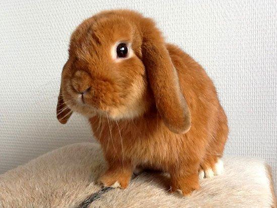 Кролик карликовый баран купить москва