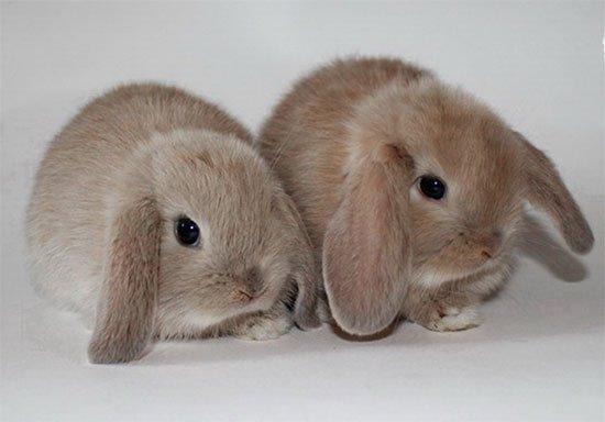 Кролик Карликовый Баран фото: Куплю Кролика Карликового ... Декоративные Кролики Уход