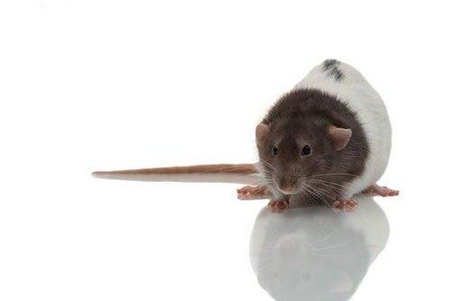 крыса дамбо фото 2