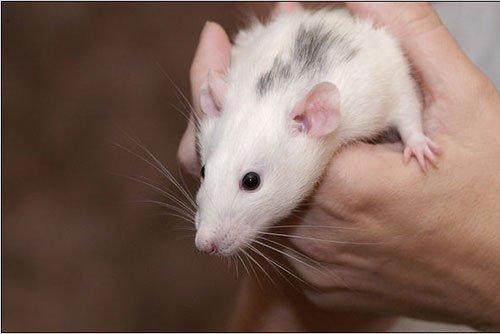 крыса дамбо фото 3