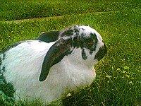Кролик Метелик - енциклопедія тварин
