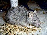 Блакитна щур - енциклопедія тварин