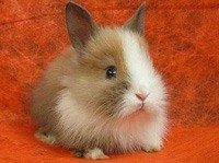 Карликовий кролик - енциклопедія тварин