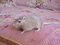 Піщанка монгольська - енциклопедія тварин