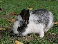 Новозеландський Кролик - енциклопедія тварин