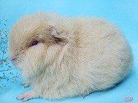 Морська свинка Швейцарський тедді - енциклопедія тварин