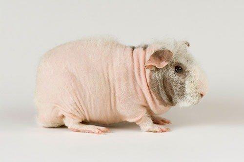 где купить свинку диетолога