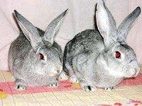 Кролик Радянська Шиншила - енциклопедія тварин