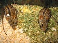 Зебровая миша - енциклопедія тварин