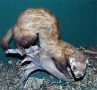 Тхір степовий (Mustela eversmanni). - енциклопедія тварин