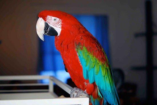 Купить попугая ара - 21