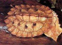 Бахромчата черепаха - енциклопедія тварин