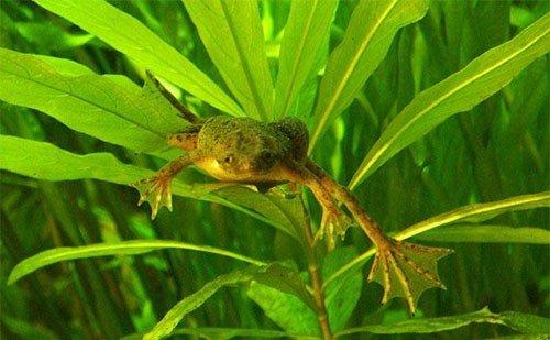 Лягушка гименохирус (Hymenochirus boettgeri): фото, уход, содержание