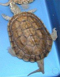 Каспійська черепаха - енциклопедія тварин