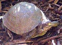 Черепаха каролінська каробчатая - енциклопедія тварин