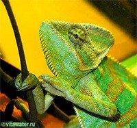 Ковровый хамелеон фото: Куплю Коврового хамелеона недорого, отдам, недорого продам Коврового хамелеона бесплатно (фото), здесь можно купить, продать или отдать Коврового хамелеона, питомник