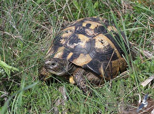 Середземноморська черепаха - енциклопедія тварин