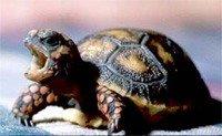 Вугільна черепаха - енциклопедія тварин