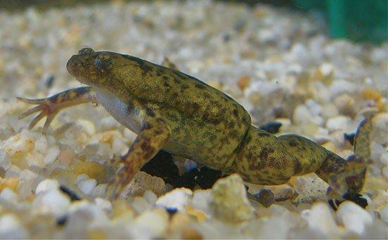 https://www.pitomec.ru/upload/admin/images/kinds/reptiles/frog1.jpg