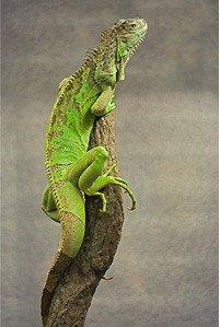 Зелена ігуана - енциклопедія тварин