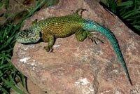 Ігуана забірна малахітова - енциклопедія тварин