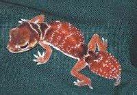 Гладкий шишкохвостый гекон - енциклопедія тварин