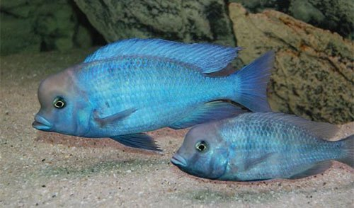 Аквариумная рыбка Цихлида голубой дельфин: фото, содержание и кормление, размножение и разведение