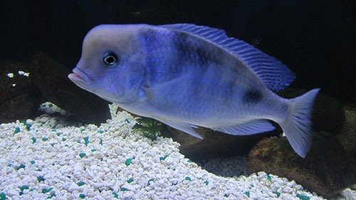 фото рыба цихлида