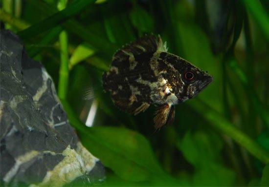 Риба-обрубок або полицентрус - енциклопедія тварин