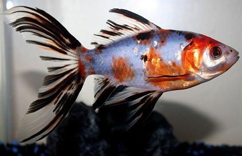 Аквариумная рыбка Шубункин: фото, содержание и кормление, размножение и разведение