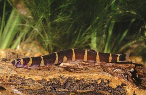 Аквариумная рыбка Акантофтальмус: фото, содержание и кормление, размножение и разведение