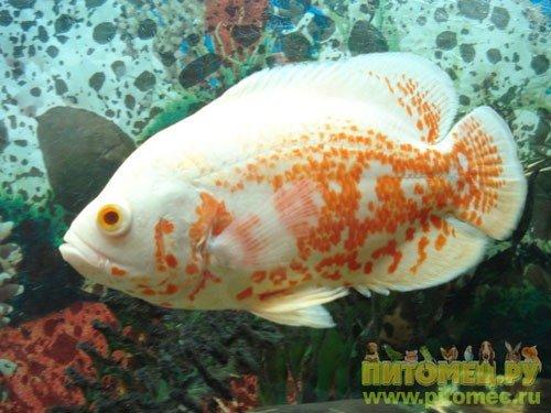 хищные аквариумные рыбки название и фото