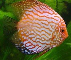Аквариумная рыбка Дискус: фото, содержание и кормление, размножение и разведение