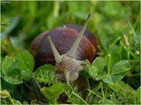 Виноградна равлик (Helix pomatia) - енциклопедія тварин