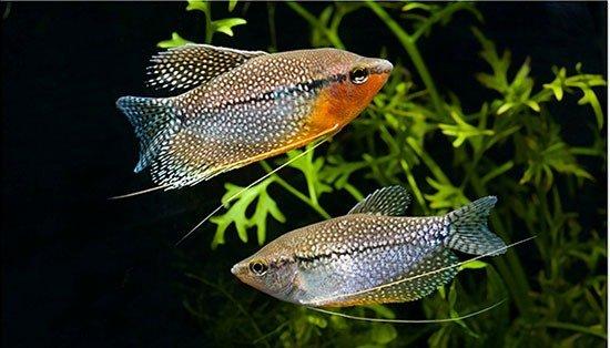 Аквариумная рыбка Жемчужный гурами: фото, содержание и ...: http://www.pitomec.ru/kinds/main/fish/Karpovidnie/Zhemchuzhnyj_gurami