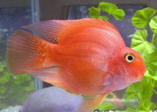 Червоний папуга (риба-папуга) - енциклопедія тварин