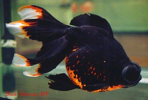 Аквариумная рыбка Телескоп (демекин): фото, содержание и кормление, размножение и разведение