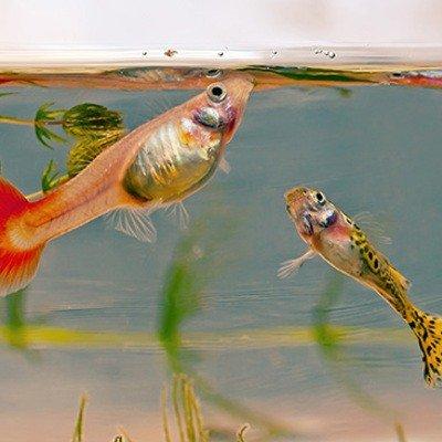 Чем и сколько раз кормить аквариумных рыбок