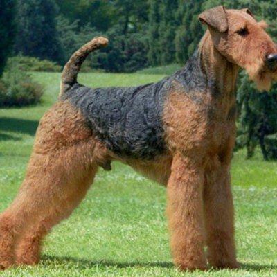 Далматинская собака (Далматин) Одна из древнейших служебных пород собак.  На полотнах старинных художников...