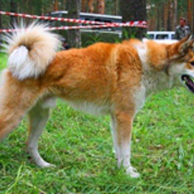 ВОСТОЧНО-СИБИРСКАЯ ЛАЙКА.  Порода универсальных охотничьих собак, выведенная в районах