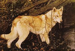 ...1884—1969) путём скрещивания немецкой овчарки с волком.