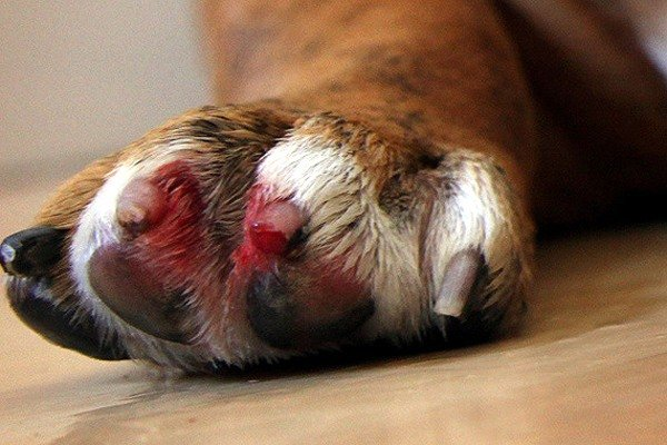 Cat claw infection