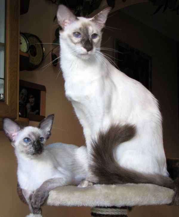 Балинез или балийская кошка разговор